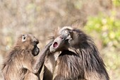 Africa, Ethiopia, Rift Valley, Debre Libanos, Gelada or Gelada baboon (Theropithecus gelada), dominant male and female, Grooming