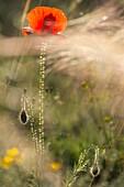 Poppies (Papaver rhoeas). Almansa. Albacete. Spain.