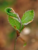 Beech leaves sprout (Fagus sylvatica). Spring time at Montseny Natural Park. Barcelona province, Catalonia, Spain.