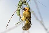 Africa, Ethiopia, Rift Valley, Ziway lake, Village weaver (Ploceus cucullatus), building the nest.