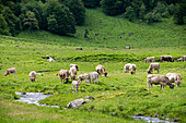 Cattle on the summer pastures in the valley Arriu Joeu