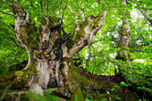 Ancient beech trees grow in the forests of the Val de Toran
