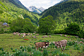 Cattle on the summer pastures in the Valle de Varrados