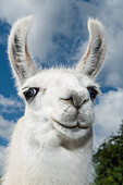 A white llama (Lama glama) looks into the camera during a portrait, near Puerto Montt, Los Lagos, Patagonia, Chile, South America