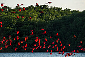 Flocks of scarlet ibises (Eudocimus ruber) return in the late afternoon to their nightly roosts on an island in the Caroni Swamp Bird Sanctuary, Trinidad, Trinidad and Tobago, Caribbean