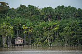 A house on stilts stands among tall palm trees on the shore of the Amazon river, Breves Channels, near Belem, Para, Brazil, South America