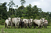 Zebu cattle (Bos primigenius indicus) line up on a tributary of the Amazon River, Marali, Para, Brazil, South America