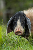 A pig takes a break from feeding among tall grass to eye a passing boat, Marali, Para, Brazil, South America