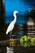 A little egret (Egretta garzetta) stands on a log in an Amazon River tributary, Virasalla, Para, Brazil, South America