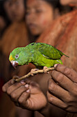 A bright green Amazon parrot (Amazona) with a yellow forehead perches on a stick held by a member of the Yagua people, along the Amazon River, Libertad, Amazonas, Colombia, South America