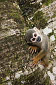 An inquisitive common squirrel monkey (Saimiri sciureus) clings to a tree-trunk while looking at the photographer on Monkey Island, or Isla de los Micos, along the Amazon River, near Libertad, Amazonas, Colombia, South America