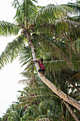 A teenage boy shimmies up the trunk of a palm tree to harvest coconuts, Lamotrek Island, Yap, Federated States of Micronesia, South Pacific