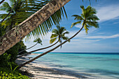 Palm trees with long curved trunks stretch out toward turquoise coastal waters and a blue sky, Bock Island, Ujae Atoll, Marshall Islands, South Pacific