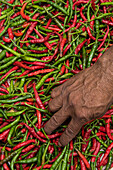 A dark-skinned hand delves into a mass of red and green chilies, Lautoka, Viti Levu, Fiji, South Pacific