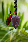 A colorful Kuhl's lorikeet (Vini kuhlii) hangs upside-down on a banana flower with verdant palms in the background, Rimatara, Austral Islands, French Polynesia, South Pacific