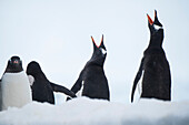 Two Gentoo penguins (Pygoscelis papua) bray like donkeys as their brethren waddle between their colony and the ocean, Danco Island, near Graham Land, Antarctica