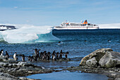 Adélie penguins (Pygoscelis adeliae) prepare to enter the water from shore as several returning comrades jump out of the water and expedition cruise ship MS Bremen (Hapag-Lloyd Cruises) in the background, Low Tide Cove, Antarctic Sound, Antarctica
