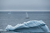 A fin whale (Balaenoptera physalus) seen beyond an iceberg occupied by three Chinstrap penguins (Pygoscelis antarcticus), blows in blue-gray seas, near Base Orcadas, South Orkney Islands, Antarctica