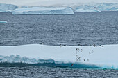 Gentoo penguins (Pygoscelis papua) approach the edge of a large ice floe while one is seen in mid-dive, entering the ocean, Port Lockroy, Wiencke Island, Antarctica