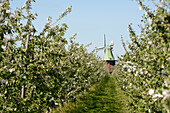 apple trees, blossoming, Altes Land, windmill, Venti Amica, Hollern-Twielenfleth, Lühe, Stade - district, Lower Saxony, Germany, Europe