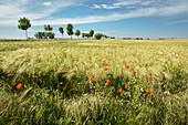 barley field, Poel, Nordwestmecklenburg - district, Mecklenburg-Western Pomerania, Germany, Europe