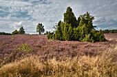 blossoming heather, juniper, Wietze, Lüneburger Heide, Celle - district, Lower Saxony, Germany, Europe