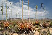 agaves, La Oliva, Fuerteventura, Spain, Europe
