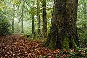forest, fog, tree trunk, foliage, Neuenburger Urwald, Zetel, Friesland - district, Lower Saxony, Germany, Europe
