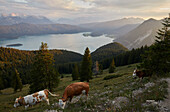 View on the Walchensee, the Karwendel mountains in the back, cows on the meadows below the Jochberg summit.