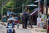 Elefanten unter dem Sigiriya-Felsen, Sigiriya, Sri Lanka