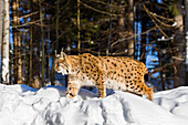 European Lynx in snow, Lynx lynx; Bavarian Forest National Park, Bavaria, Germany, captive