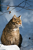 Wildcat in winter, Felis silvestris, Bavarian Forest National Park, Germany, Europe, captive