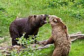 Brown Bears threatening each other, Ursus arctos, Bavarian Forest National Park, Bavaria, Lower Bavaria, Germany, Europe