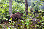 Brown Bear in forest, Ursus arctos, Bavarian Forest National Park, Bavaria, Germany, Europe, captive
