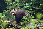 Brown Bear, female, Ursus arctos, Bavarian Forest National Park, Bavaria, Germany, captive