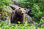 Brown Bear, Ursus arctos, Bavarian Forest National Park, Bavaria, Germany, captive