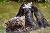 Braunbär im Wasser spielt mit Stein, Bärin, Weibchen, Ursus arctos, Nationalpark Bayerischer Wald