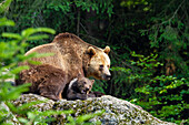 Brown Bear, mother with cub, Ursus arctos, Bavarian Forest National Park, Bavaria, Germany, captive