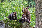 Brown Bear, mother with cubs, Ursus arctos, Bavarian Forest National Park, Bavaria, Lower Bavaria, Germany, Europe, captive