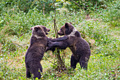 Young Brown Bears playing, Ursus arctos, dancing, Bavarian Forest National Park, Bavaria, Lower Bavaria, Germany, Europe, captive
