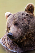 Brown Bear in water dreaming, Ursus arctos, Bavarian Forest National Park, Bavaria, Germany, Europe, captive