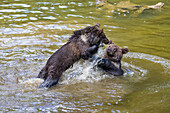young Brown Bears fighting in water, Ursus arctos, Bavarian Forest National Park, Bavaria, Lower Bavaria, Germany, Europe, captive