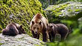 Brown Bear, mother with cubs, Ursus arctos, Bavarian Forest National Park, Bavaria, Lower Bavaria, Germany, Europe, captive