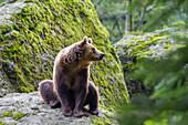Brown Bear, Ursus arctos, Bavarian Forest National Park, Bavaria, Germany, captive