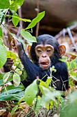Schimpansenkind, Pan troglodytes, Mahale Mountains Nationalpark, Tansania, Ostafrika
