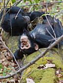 Schimpansen träumerisch, Pan troglodytes, Mahale Mountains Nationalpark, Tansania, Ostafrika