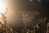 Spiderweb with dew, morning, Bavaria, Germany, Europe