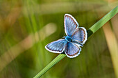 Blue butterfly, Plebejus argus, Upper Bavaria, Germany, Europe