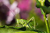 Upland Green Bush-Cricket, male, Tettigonia cantans, Bavaria, Germany, Europe