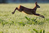 Roe Deer fleeing, female, Capreolus capreolus, Upper Bavaria, Germany, Europe